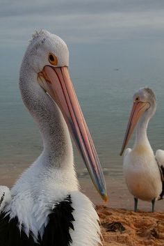 Pelicans at the beach:  YEP.....we got that close to them!!!!!!!!!!!!