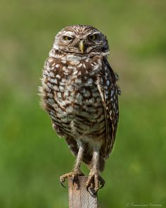 https://flic.kr/p/EbmyCr | Not so happy bird | Burrowing Owl