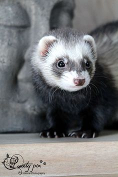 Looks just like my Jade from 18 years ago...LOVE ferrets!