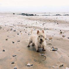 Westie at the beach Cute Creatures, Beautiful Creatures, Modern Hepburn, Driftwood Beach, West Highland Terrier, White Terrier, Westies, Mans Best Friend, Dog Friends