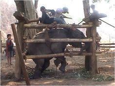 """Filhote de elefante é massacrado durante processo de treinamento, chamado de """"quebra"""" do seu espírito. Foto: OGP"""