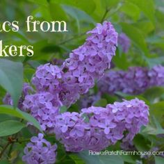 All About Lilacs Grow, Propagate and Bloom - Flower Patch Farmhouse Lantana Plant, Plant Propagation, French Lilac, Lilac Bushes, Garden Shrubs, Garden Path, How To Attract Hummingbirds, Flower Patch, Flower Beds