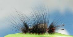 Tussock Moth Caterpillar (Lymantriinae) | Flickr - Photo Sharing!