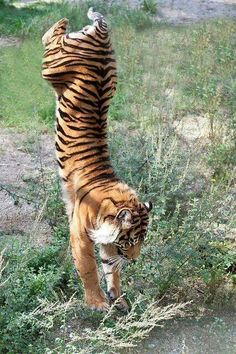 Tiger's exercise #provestra