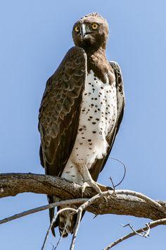 Martial eagle by Denis Roschlau