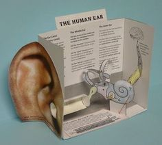 Paper model of the human ear CUT-AND-ASSEMBLE PAPER MODEL of the HUMAN EAR Target audience: Ages 10 and up (younger than 10 will need help assembling it) Materials needed: Copies printed onto lightweight … Science Biology, Science Fair, Teaching Science, Science For Kids, Science Activities, Life Science, Science Experiments, Science Education, Biology Projects