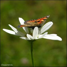 Butterfly on daisy by Cassiopeeh