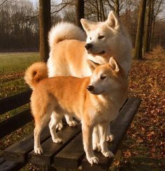 jindo vs shiba - Google Search