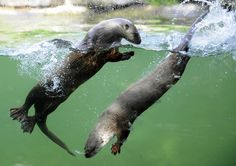 Canadian sea otters swim at the zoo in Amnéville, eastern France.