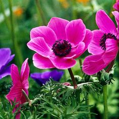 Anemone  Graceful and charming little bulbs, anemones look like little spring daisies, popping up cheerfully from ferny foliage. They bloom in springy shades of pink, white, and blue -- and tuck well into virtually every garden. They're underused, but great picks that deserve more attention. Anemones came in ninth place.                                          Name: Anemone blanda selections                                          Growing Conditions: Full sun and well-drained soil…