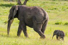 Elephant with Baby by Gil Gordon - Photo 69960487 - 500px