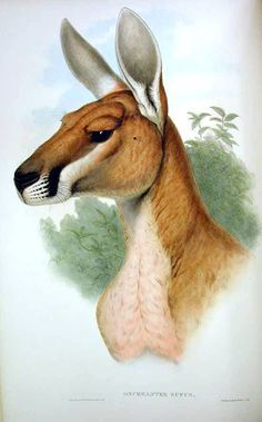 Animal - Animal head - Kangaroo - Mammals of Australia Animal Sketches, Animal Drawings, Creature Drawings, Kangaroo Drawing, Kangaroo Illustration, Red Kangaroo, Carnival Of The Animals, Australian Painting, Vintage Illustration Art