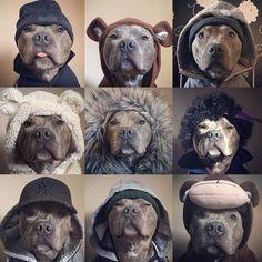 The many faces of @bluey_the_blue_brindle follow @nila_blue_staffy & @mollyandtillystaffies by bullbreedsofinsta
