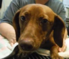 Petango.com – Meet Honey, a 2 years Dachshund, Standard Smooth Haired / Mix available for adoption in TAMPA, FL
