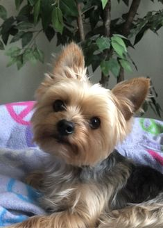 Yorshire Terrier, Silky Terrier, Yorkie Bebe, Yorkies, Yorkie Cuts, Yorkie Haircuts, Yorkshire Terrier Puppies, Dog Rules, Homemade Dog