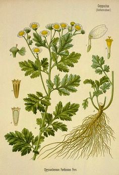 A tincture made from Feverfew and applied locally immediately relieves the pain and swelling caused by bites of insects and vermin. It is said that if two teaspoonfuls of tincture are mixed with pint of cold water, and all parts of the body likely to b Poster Size Prints, Art Prints, Organic Herbs, Medicinal Plants, Chrysanthemum, A0 Poster, Botanical Illustration, Gloss Matte, Wonderful Images