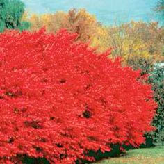 Burning Bush Plant - LOVE the color of these! Need to find dwarf ones, though...