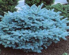 Best Plants For High Altitude Landscaping   Blue Globe Spruce