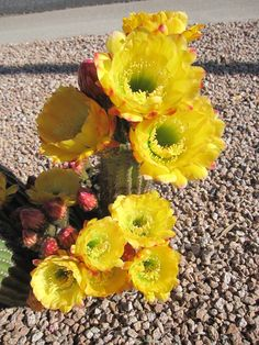 Trichocereus 'Dutchman's Gold' from AZ Cactus Sales with over 40 buds Desert Plants, Cactus Plants, Planting Flowers, Succulents, Roses, Garden, Beautiful, Gardening, Cactus Flower