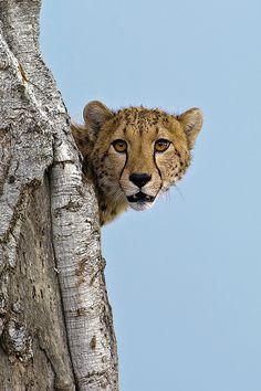 Our beautiful Cheetah. Cheetah lookback by Marc MOL, via Nature Animals, Animals And Pets, Cute Animals, Baby Animals, Cool Cats, Big Cats, Mundo Animal, My Animal, Beautiful Cats