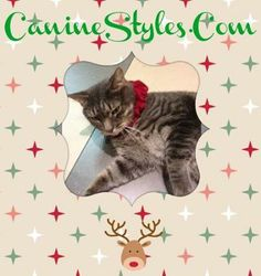 Are you Ready for the holidays?  Broadway, our House Cat is! He is rocking a holiday collar that you can pick up online at CanineStyles.com Or in Stores!