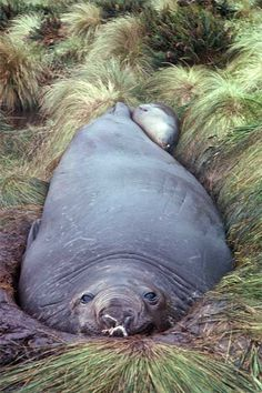 The southern elephant seal (Mirounga leonina) breeds on Campbell and Antipodes islands. The pups are suckled for only about four weeks, but the milk is very rich. The males grow to a huge size kilograms) and have big inflatable noses. Animals And Pets, Baby Animals, Cute Animals, Amazing Animal Pictures, Cute Seals, Small Shark, Elephant Seal, Power Animal, All Gods Creatures