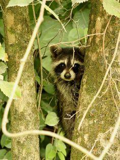 Raccoon by Jack R Brock|   fineartamerica.com