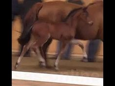 www.sporthorses-online.com 2015 Hanoverian top moving filly for sale