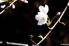 写真 染井吉野 202104 世間ではもう散っているけど #写真 #photo #花 #flower My Works, Plants, Plant, Planets
