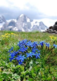 An enthusiastic group of gardeners, sharing their knowledge and appreciation of alpine plants. Alpine Flowers, Blue Flowers, Wild Flowers, Alpine Garden, Alpine Plants, Growing Flowers, Planting Flowers, Flame In The Mist, Wildwood Flower