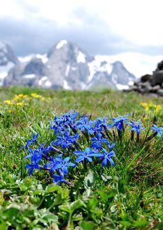 Gentiana verna, Frühlings-Enzian, spring gentian