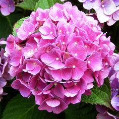 Close up view of one of the many flowers adorning the beautiful gardens at the historic Gorge Read home in Old New Castle, DE ACEO Limited Edition HYDRANGEA Pink by CreativeXpression1