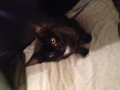 Adorable kitten found in the back of a schoolyard is looking tor a foster or forever home in #Montreal http://www.kijiji.ca/v-view-details.html?adAlreadyActivated=true&adId=1019156604&siteLocale=en_CA&uuid=597b479f-5892-49b8-9c11-9dfeb1b68be8&posted=true