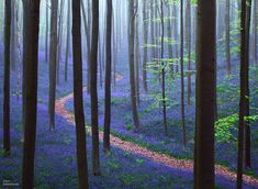 This mystical forest in Belgium is called Hallerbos, and for only one very special time all year, in the spring, the entire forest floor gets covered in bluebell flowers.