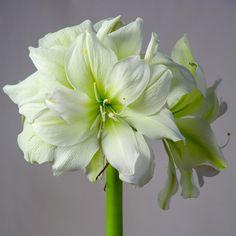 Amaryllis Bulbs | Amaryllis Marilyn | For Sale