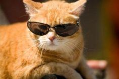 cat in wayfarer  glasses sunglasses wayfarer