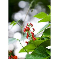 Scarlet runner beans are attracting all the hummingbirds to myhellip