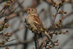 Photo Gallery :: Birds of the Northeast US :: 193 Field Sparrow