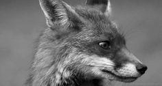 Fox gif