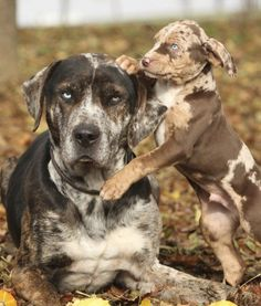 10 Cool Facts About Catahoula Leopard Dogs - Dogs Tips & Advice | mom.me
