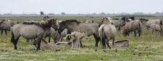 Konikpaarden, Oostvaardersplassen.