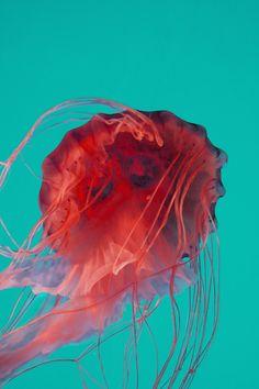 red in aqua : jellyfish