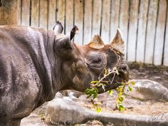 Seyia The Black Rhino