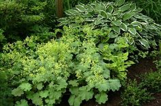 Lady's mantle (alchemilla mollis) in the shade garden