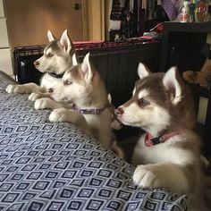 """9,245 Likes, 75 Comments - Husky Lovers  (@thehuskylove) on Instagram: """"Posted by /huskies/ Love to tag? Please DO⤵️   : @luna_copperhusk    #huskynation"""" [Siberian Husky Puppies]"""