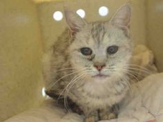 My name is QUARTE. My Animal ID # is A1094914. I am a female gray tabby british sh mix. The shelter thinks I am about 10 YEARS old.  I came in the shelter as a STRAY on 10/27/2016 from NY 11208, owner surrender reason stated was STRAY. I came in with Group/Litter #K16-079498.  MOST RECENT MEDICAL INFORMATION AND WEIGHT 10/29/2016 Exam Type VACCINATE – Medical Rating is 4 NC – SEVERE CONDITIONS NOT CONTAGIOUS, Behavior Rating is NONE, Weight 4.6 LBS.