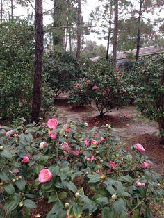 Blooming Camellia Garden  Bob Wines Camellia Garden Ocala, Fl
