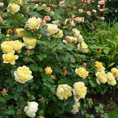 Buy Charles Darwin from David Austin with a 5 year guarantee and expert aftercare. Charles Darwin, Graeme Garden, Deadheading Roses, Rose Hedge, Austin Rosen, Mixed Border, Rose Delivery, Buy Plants Online, Rose Care
