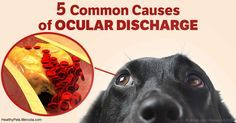 Know the 5 most common causes of ocular discharge, and when they are serious enough to seek professional attention. http://healthypets.mercola.com/sites/healthypets/archive/2017/05/05/pets-eye-oogies.aspx?utm_source=facebook.com&utm_medium=referral&utm_content=facebookpets_lead&utm_campaign=20170505_pets-eye-oogies