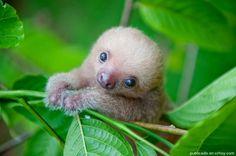 No queda más que rendirse ante tanta ternura. Las imágenes 'más tiernas' de osos perezosos en Costa Rica fueron captadas por la fotógrafa y conservacionista estadounidense Sam Trull, quien vino al […] | Crhoy.com